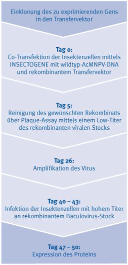 Zeitskala für die Proteinexpression mit dem Baculovirus Expression Vector System
