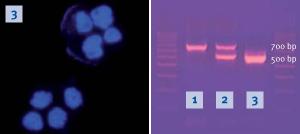 DAPI Färbung von H441-Luc Zellen und Mykoplasmendetektion mittels MycoSPY