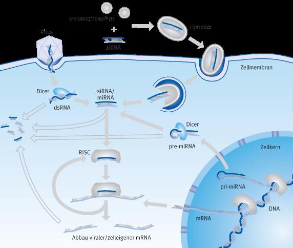 Schematische Darstellung der Prozesse bei eine Transfektion von siRNA (RNA-Interferrenz) | Biontex