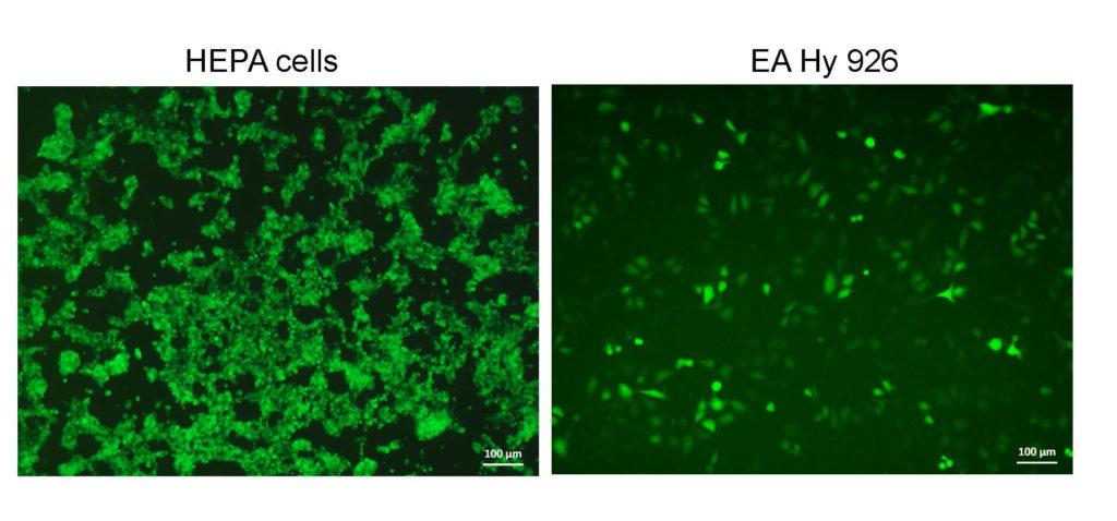 Transduktion von HEPA Zellen und EA Hy 926 Zellen mit Adenovirus
