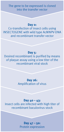 Timescale for protein expression with the Baculovirus Expression Vector System