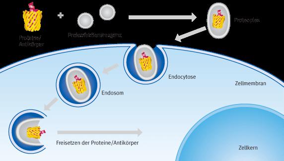 Schematische Darstellung der Prozesse bei einer Proteofektion | Biontex