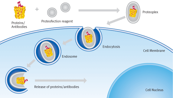 Schematic diagram of proteofection processes | Biontex