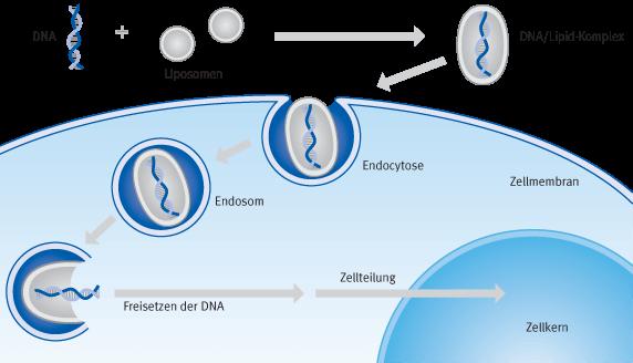 Schematische Darstellung der Prozesse bei einer Transfektion mit kationischen Liposomen (Lipofektion) | Biontex