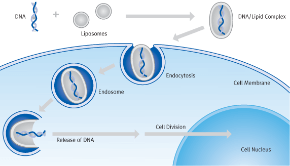 Schematic diagram of transfection processes with cationic liposomes (lipofection) | Biontex