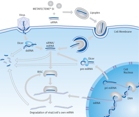 Schematic diagram of transfection processes with siRNA (RNA-Interference) | Biontex